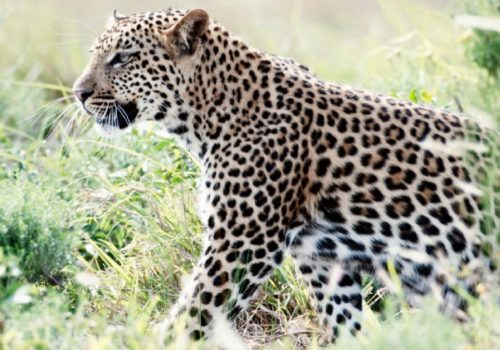 Leopard & Predator Research Project
