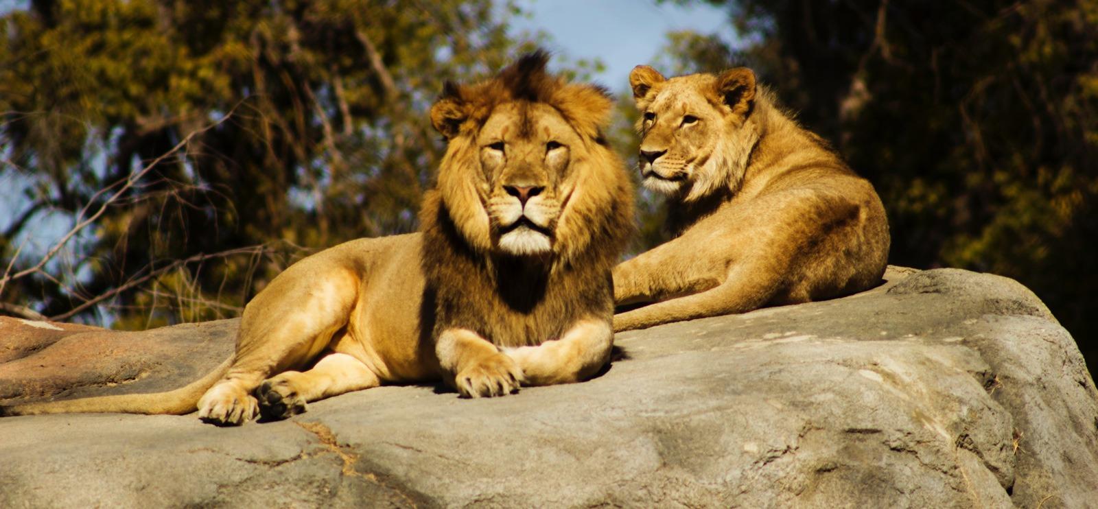 lions in Tanzania